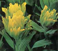 Golden Paintbrush