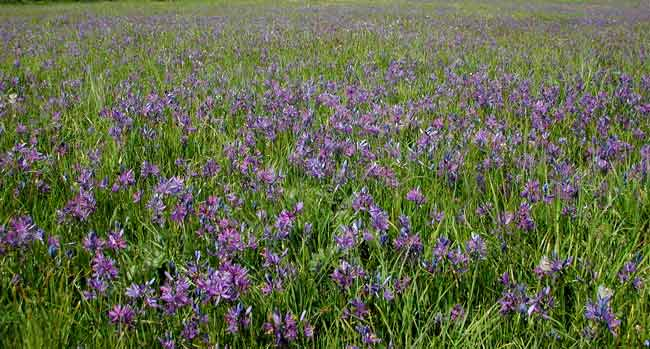Magnificent field of common camas