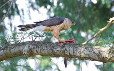 Cooper's hawk with bloody prey