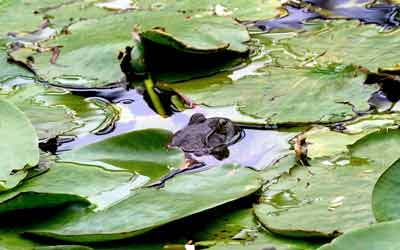 Giant North American bullfrog in Goodacre Lake