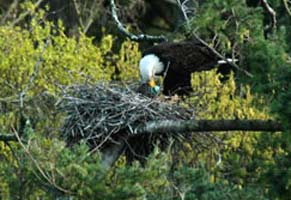 Eagle eating heron eggs