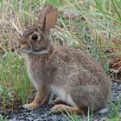 Cottontails are a threat to the park