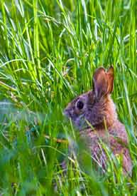 Another cottontail spotted
