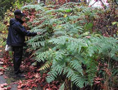 Large bracken fern in the SE Woods