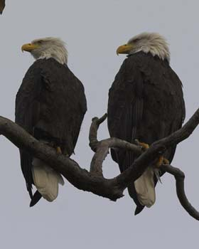 Bald eagle pair on a Southeast Woods tree
